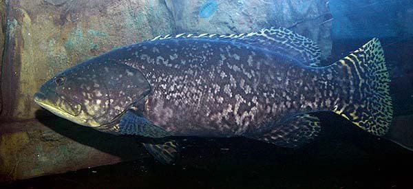 #Garoupa-Gigante (Epinephelus lanceolatus)
