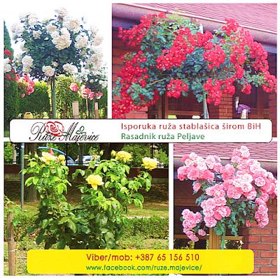 Kako brinuti o ružama u jesen, o orezivanju, sađenju i prevenciji bolesti.