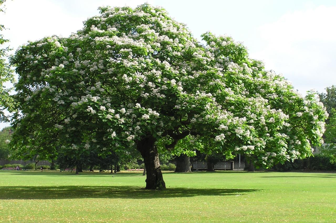 Acero Radici Invasive albero per ombreggiare parcheggio auto | forum di