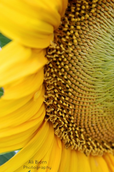 yellow petals and unopened center of sunflower