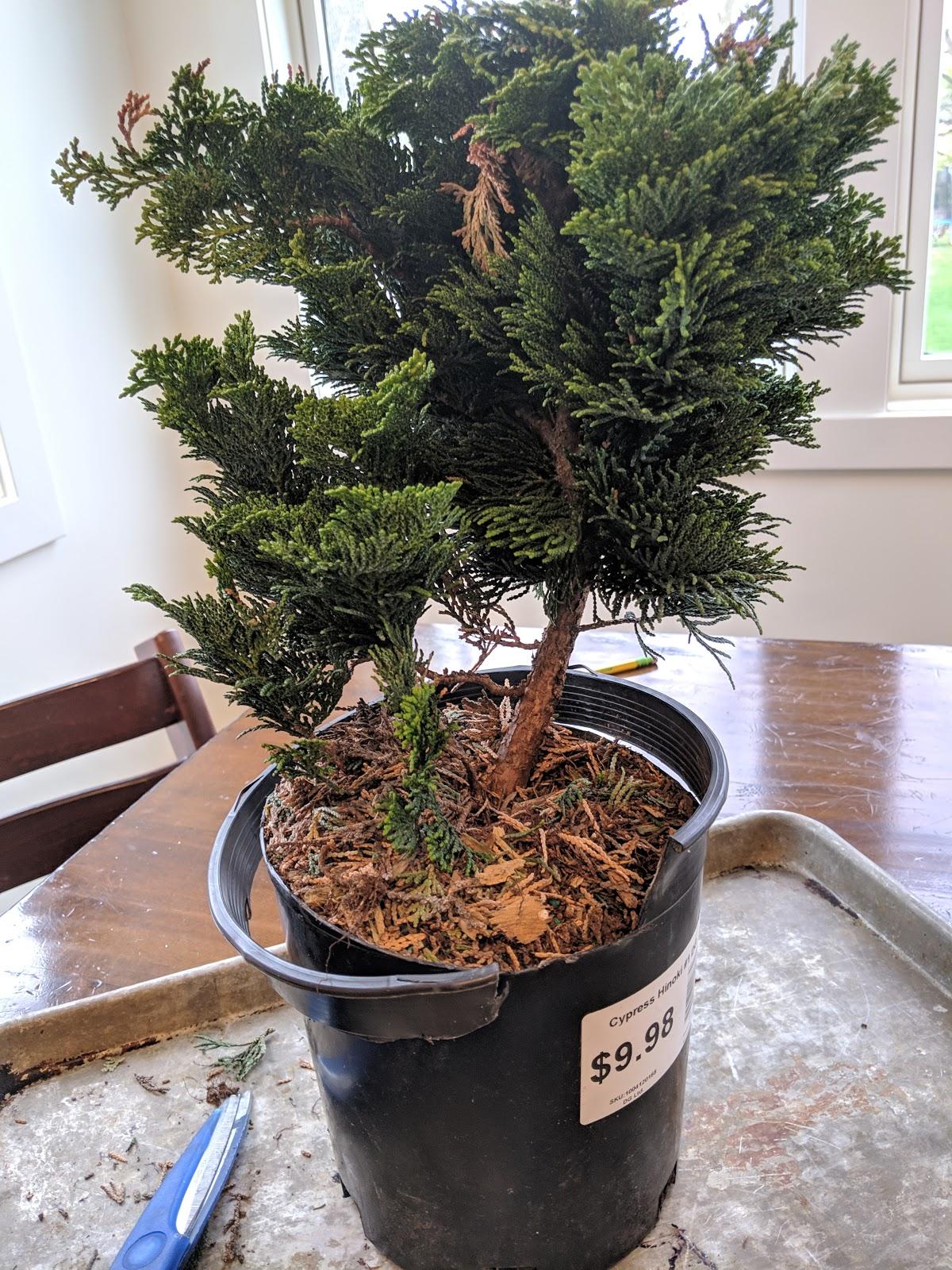 Starting My Bonsai Journey Cypress Hinoki Nursery Stock