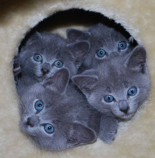 Russian Blue babies I think I would like one of these some day!