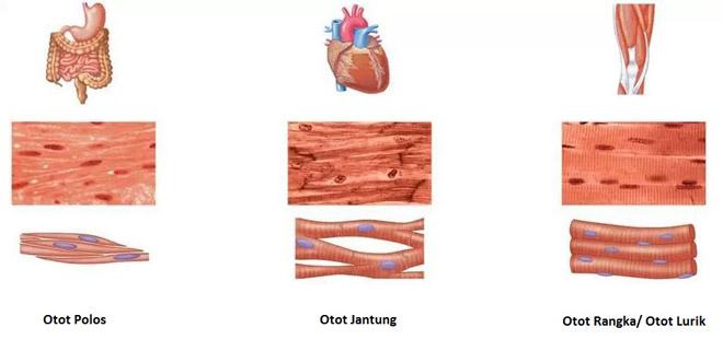 Perbedaan Otot Polos Lurik dan Jantung pada Manusia