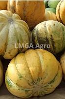 blewah,garbis,buah garbis,pertanian,budidaya tanaman,lmga agro