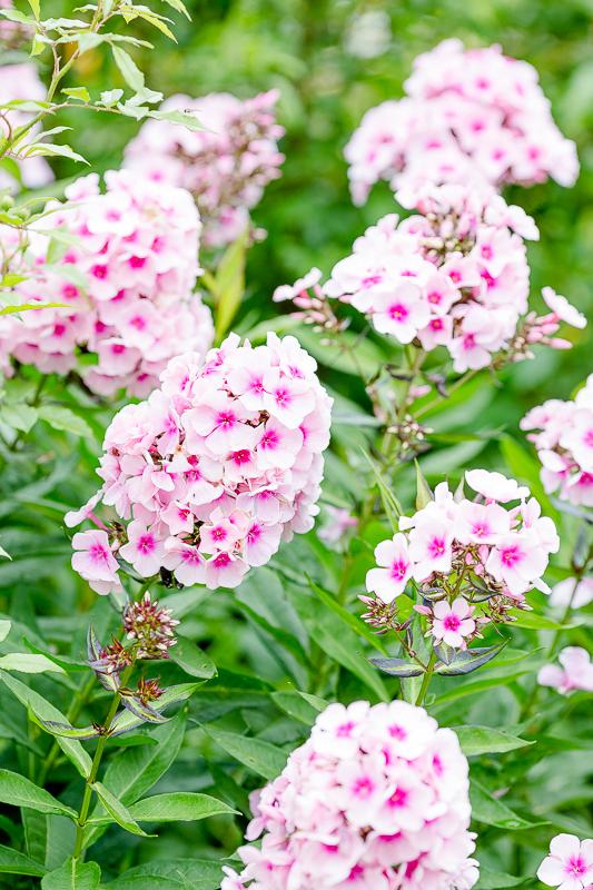 Gartenimpressionen im August, Pomponetti, Sommerphlox