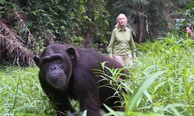 simpanse wounda