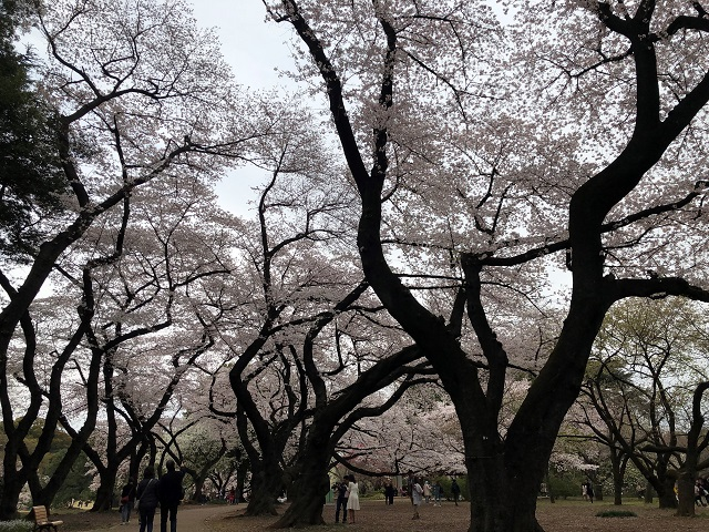 cherry trees in Shinjuku Gyoen National Park