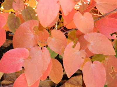 Epimedium Amber Queen barrenwort autumn foliage Toronto Botanical Garden by garden muses-not another Toronto gardening blog