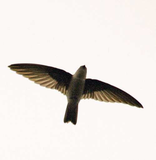 Indian birds - Edible-nest swiftlet - Aerodramus fuciphagus