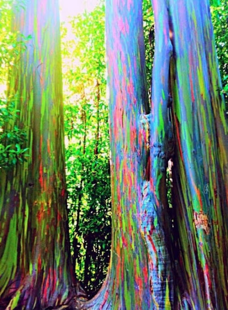 Eucalyptus deglupta / أوكالبتوس