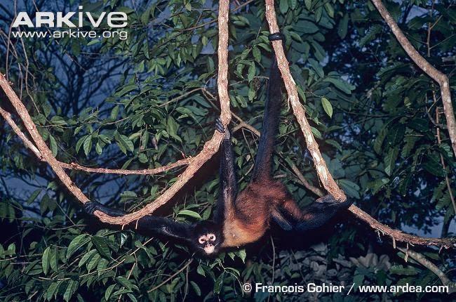 Geoffroy´s spider monkey