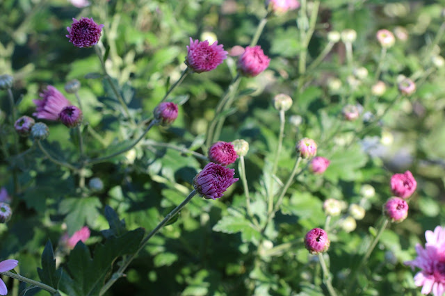 マウントオービスクピンクという菊の花