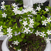 Have a Jasmine Plant in your Room. Jasmine Minimizes Anxiety, Panic Attacks, and Depression