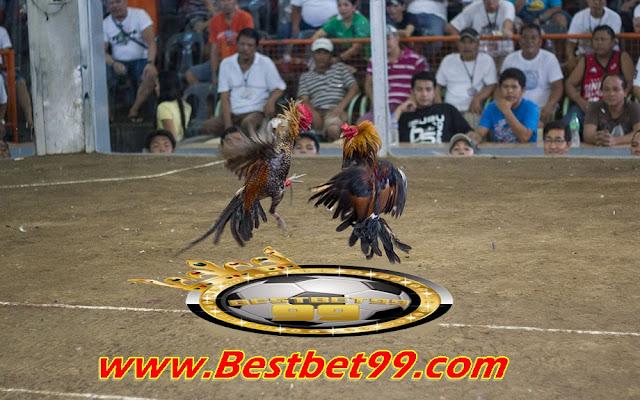 Situs agen sabung ayam – Turnamen Pertandingan Sabung Ayam 1 Cock Fastest Kill