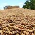 Apodi: Produtores colhem 20 mil quilos de arroz vermelho por dia
