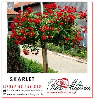 Crvena stablašica Skarlet