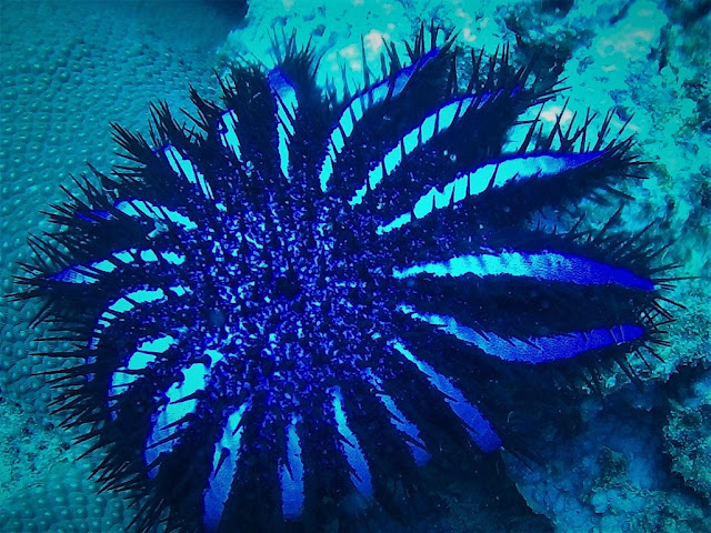 photo of crown-of-thorns starfish, Stone Coral Garden, Phuket, Thailand
