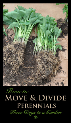 Moving & Dividing Perennials, Part 1