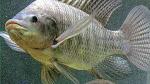 Mồi nhậy và kỹ thuật câu cá Rô phi