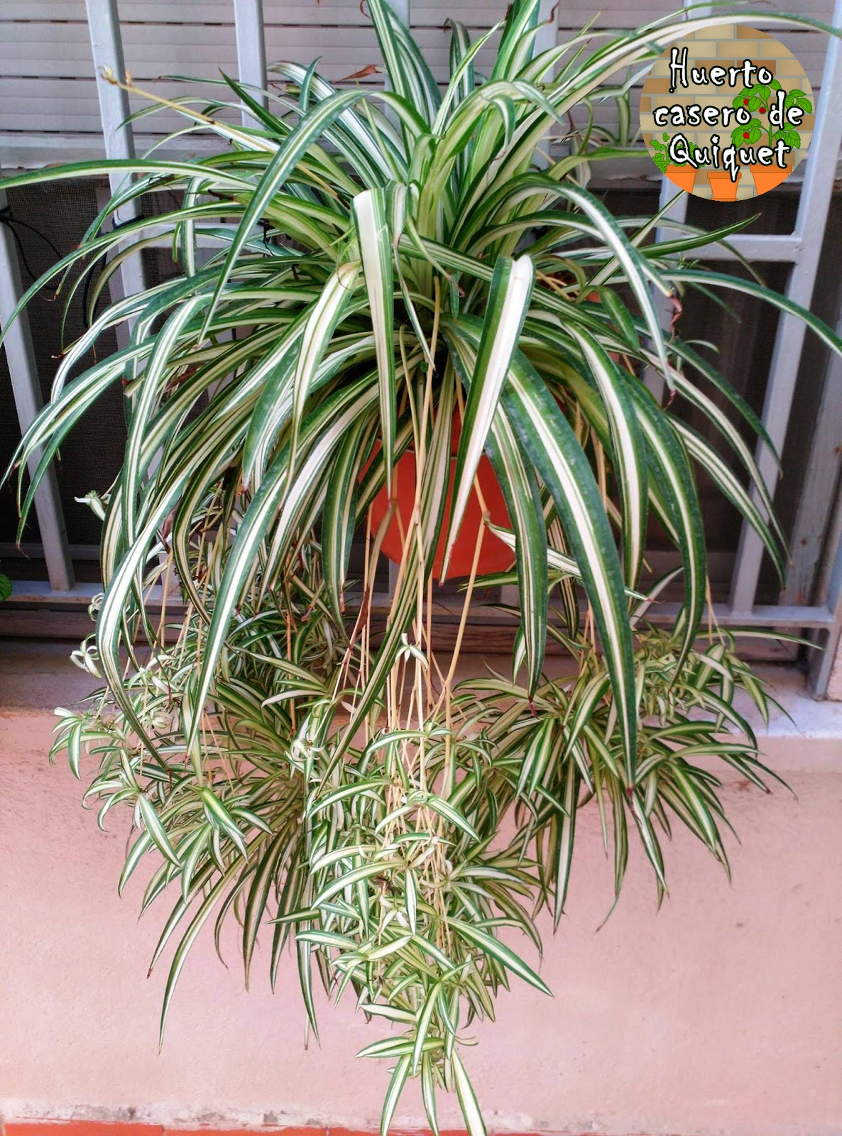 Huerto casero de quiquet planta cintas ara a o - Plantas de interior cintas ...