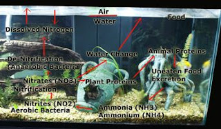 The Aquarium Nitrogen Cycle, ammonia, nitrites, fishless cycling