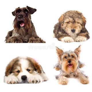 Dogs Like Schnauzers