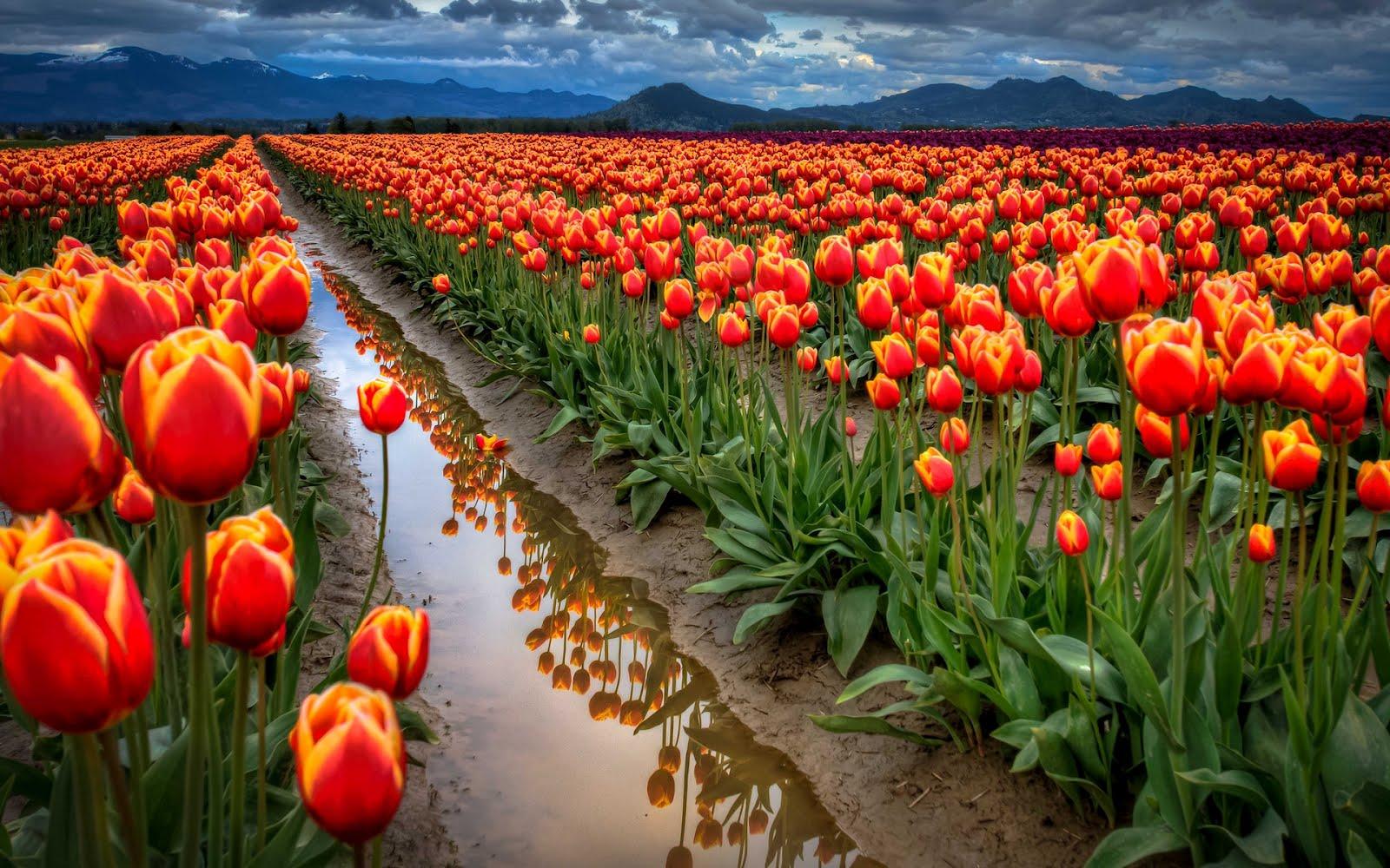 tulips garden wallpaper - photo #3