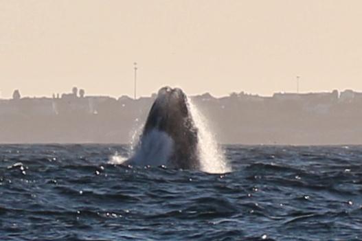 Ballena franca austral saltando frente a la costa de Hermanus