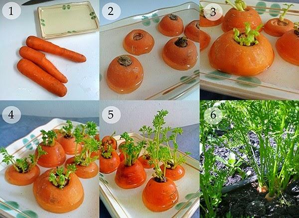 Cà rốt Cách trồng rau sạch tại nhà