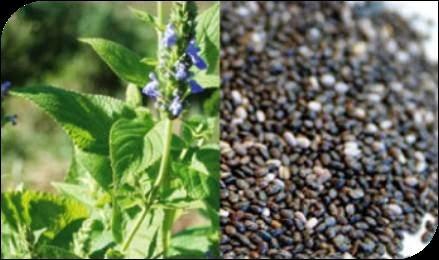Vivi cos natura e benessere cosa sono i semi di chia for Vendita carassi vivi