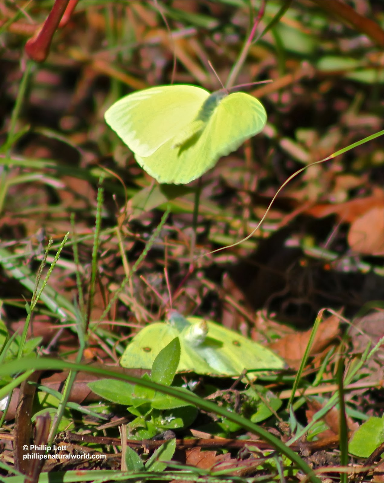 above and below a pair of cloudless sulphur butterflies engage in an elaborate mating ritual unaware that it is winter in most parts of the northern