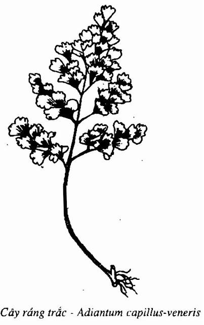 Hình vẽ cây RÁNG TRẮC - Adiantum capillus-veneris L - Nguyên liệu làm thuốc Chữa Ho Hen