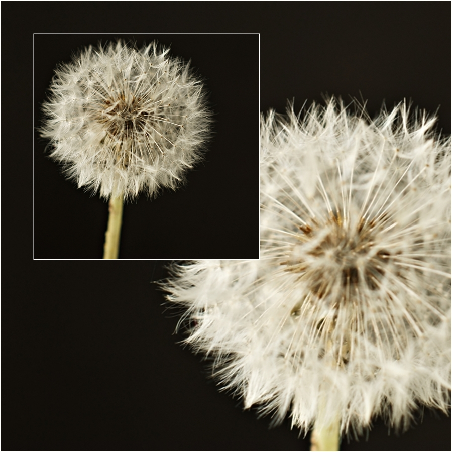 Blog + Fotografie by it's me! - fim.works - Collage Pusteblume vor schwarzem Hintergrund