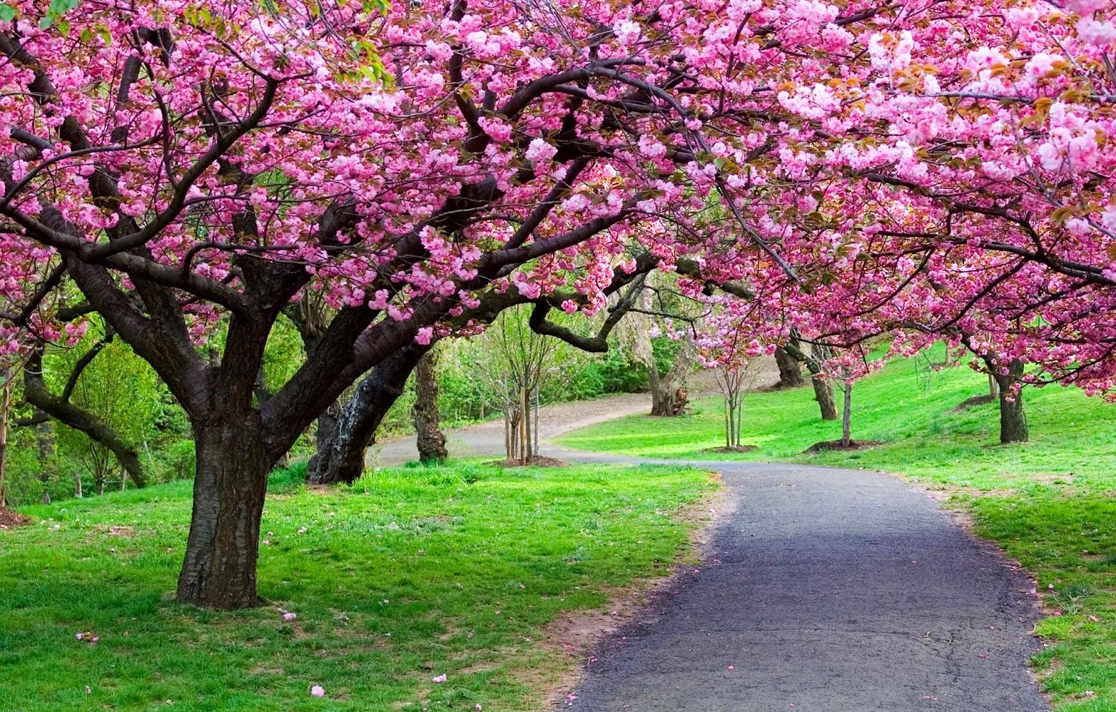 cherry blossom tree wallpaper hdtree flower park path grass cherry blossom sakura nature