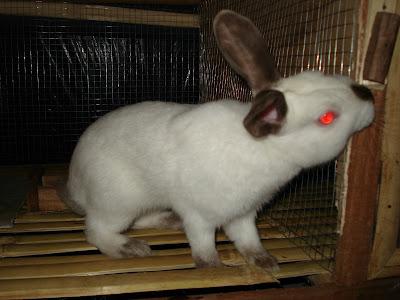 kelinci himalayan - salah satu jenis kelinci terlangka