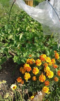 Coltivare meloni nell'orto biologico: consociazione col tagete