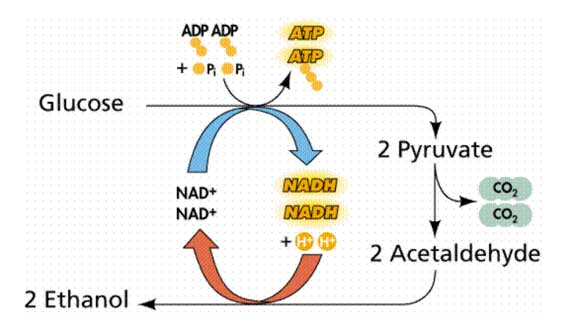 Plant Life: Glycolysis and Fermentation