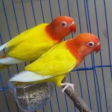 Harga Lovebird Lutino Mata Merah