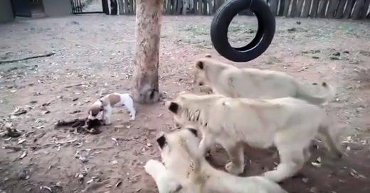 Este cachorro se enfrenta a tres cachorros de león