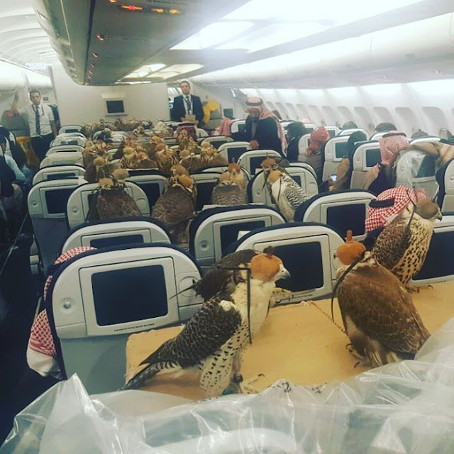 LOOK! Prince of Saudi Bought 80 Falcons Inside an Airplane and Provided Them With Individual Seats!