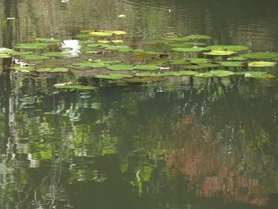 山田池公園のスイレン