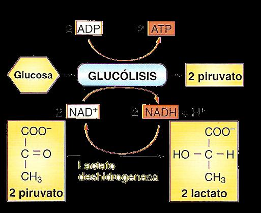 Una educación sensible educativa mira lo que metabolismo insulina  en realidad  hace en nuestro mundo