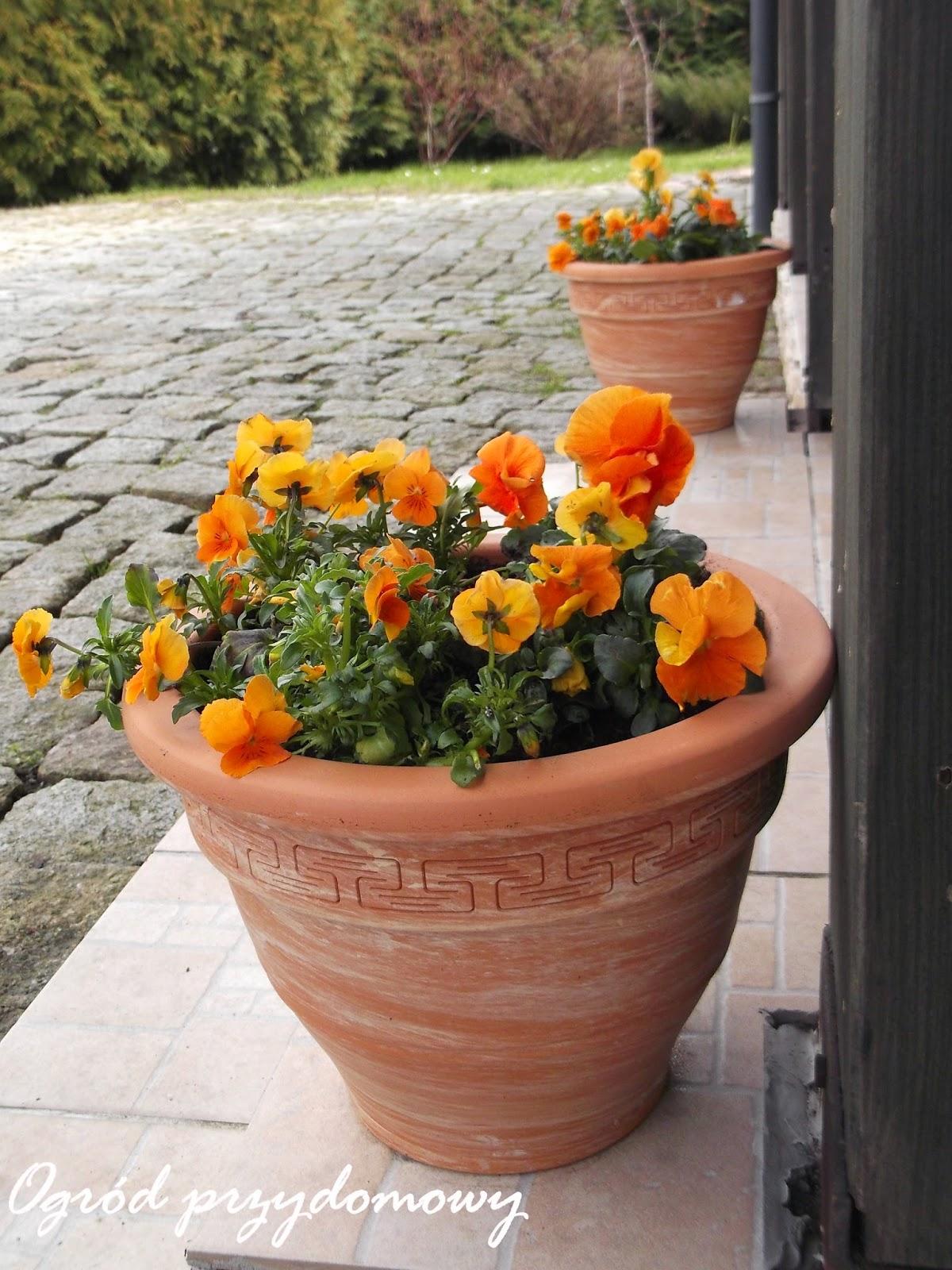 pomarańczowe bratki, ogród przydomowy