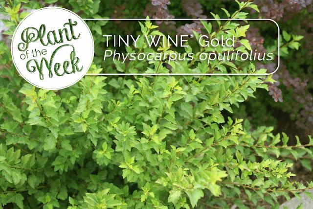 https://www.provenwinners.com/plants/physocarpus/tiny-wine-gold-ninebark-physocarpus-opulifolius