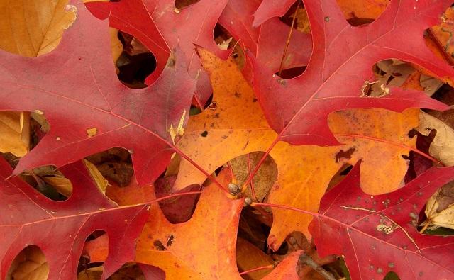 Hojas de ROBLE ESCARLATA Quercus coccinea