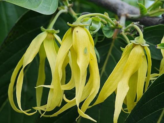 yaitu tanaman dengan bunga yang baunya sangat khas Manfaat Bunga Kenanga Atasi Berbagai Penyakit