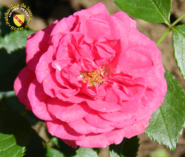 VILLERS-LES-NANCY (54) - La roseraie du Jardin botanique du Montet - Rose Elsmhorn