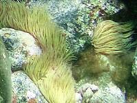 Wachsrose © Canarian Sea