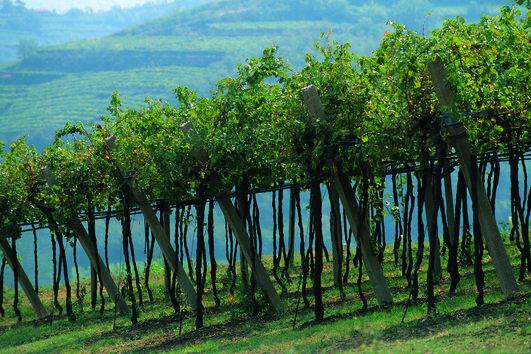 Vines of Inama Foscarino