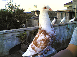 Gambar Burung Merpati Dunia Binatang
